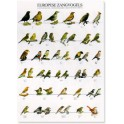 Europese zangvogels
